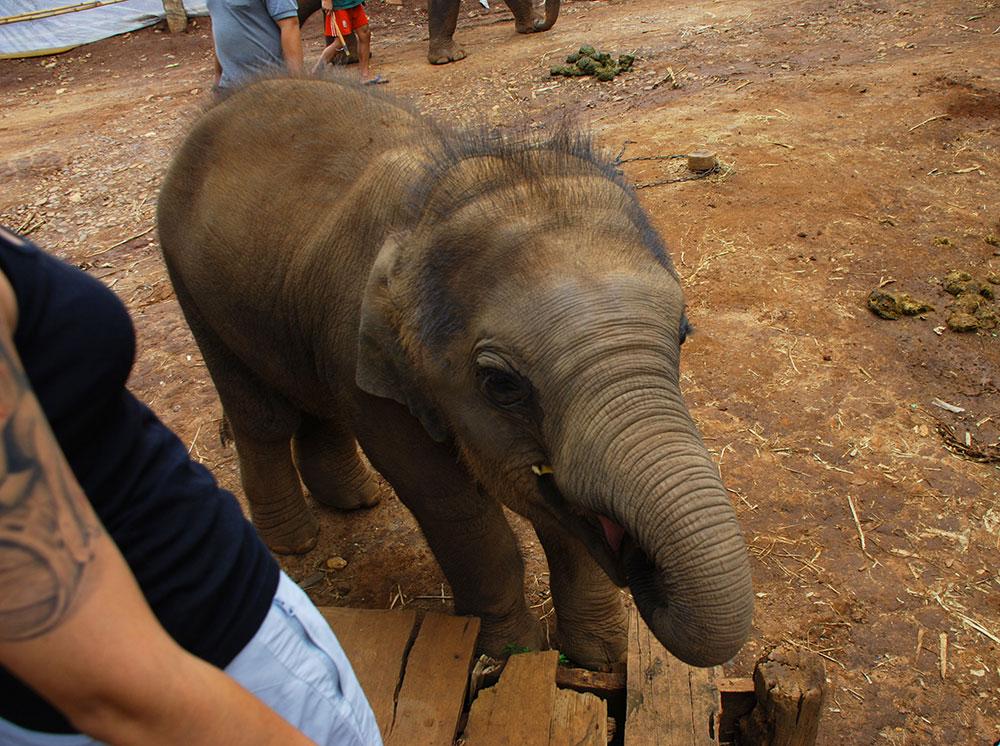 Bebé elefante en Chiang Mai