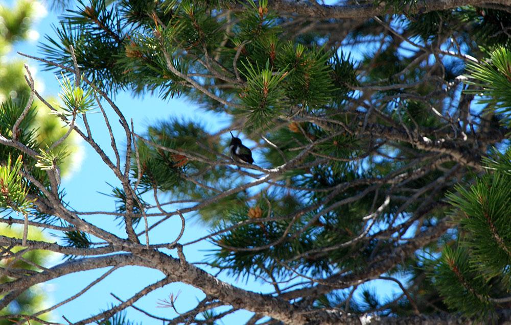 Un colibrí en Yosemite