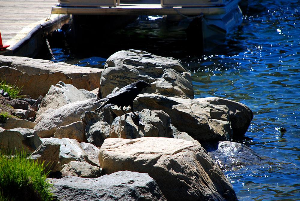 Un cuervo