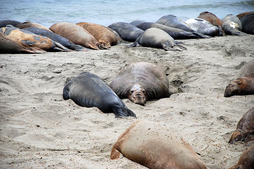 Elefantes marinos en Point Piedrasblancas