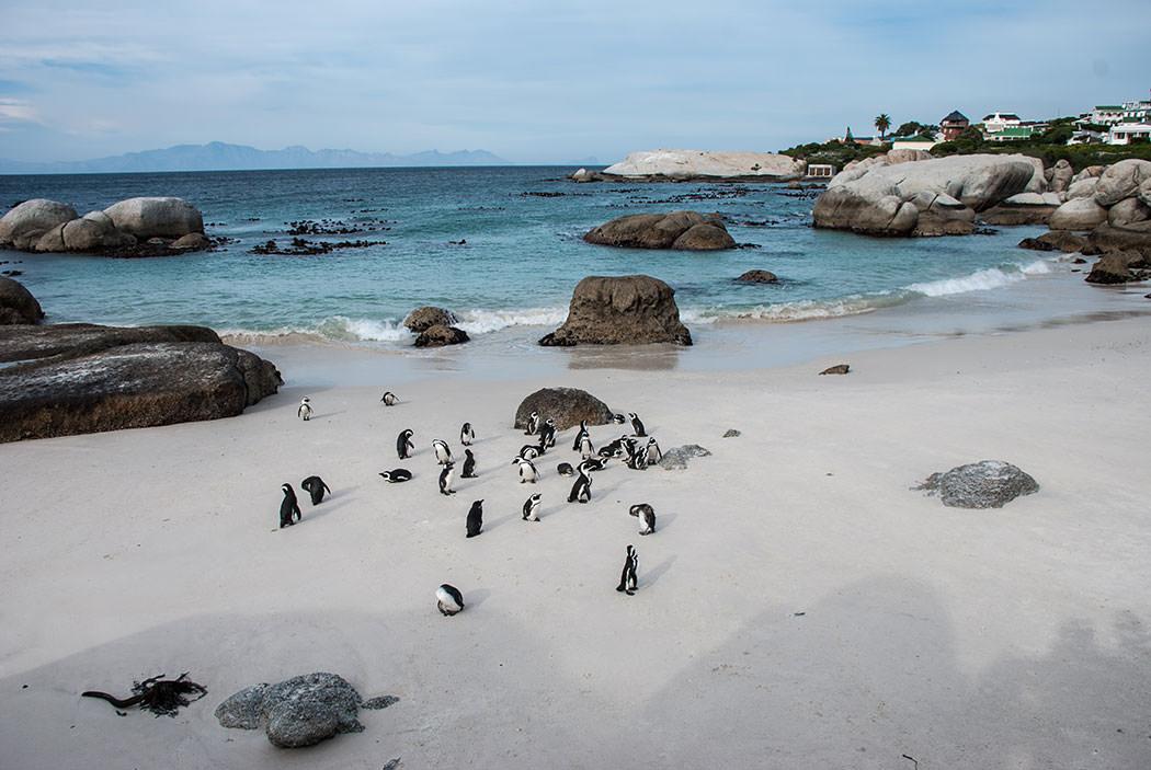 pinguinos simons town