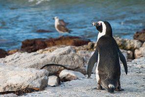 pinguino ciudad cabo