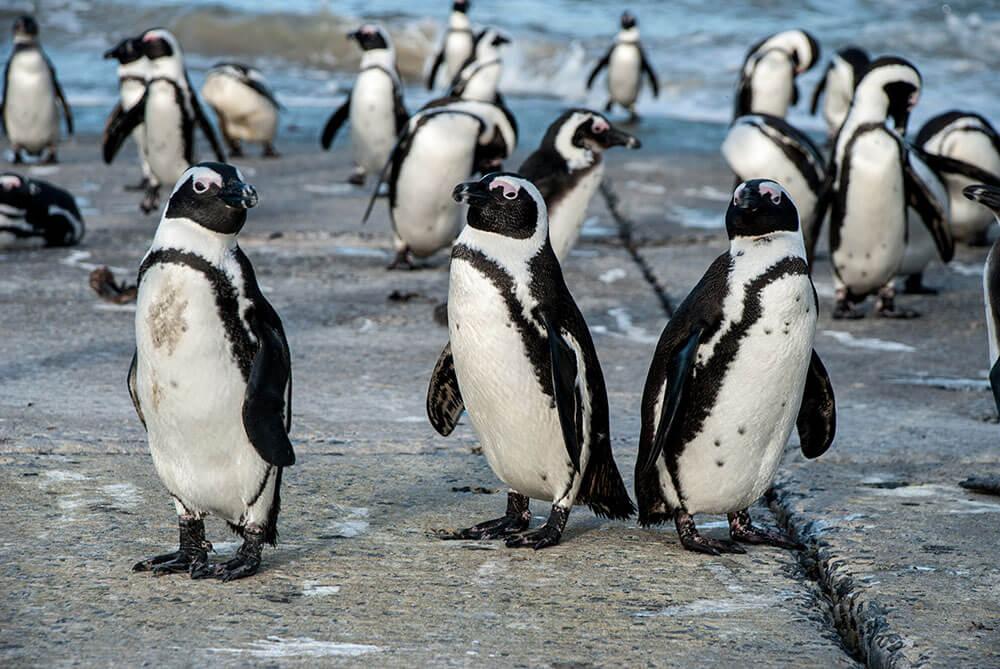 pinguinos bettys bay