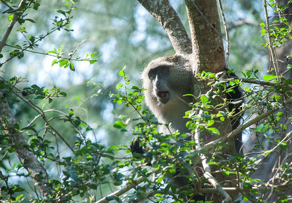 mono blanco sudafrica