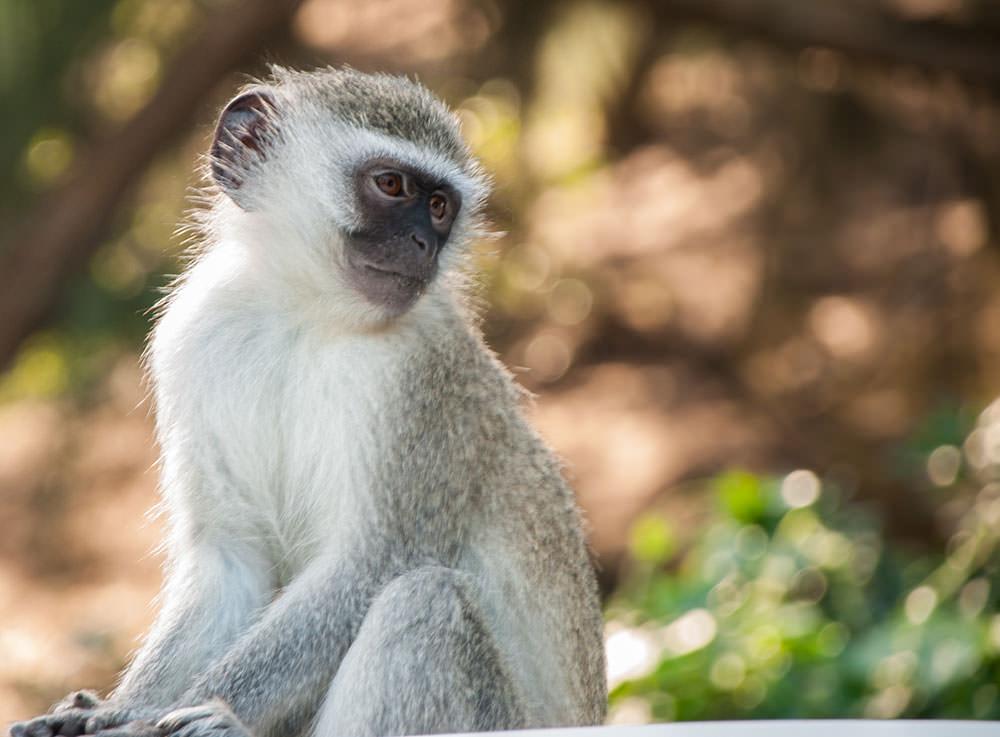babuino sudafrica