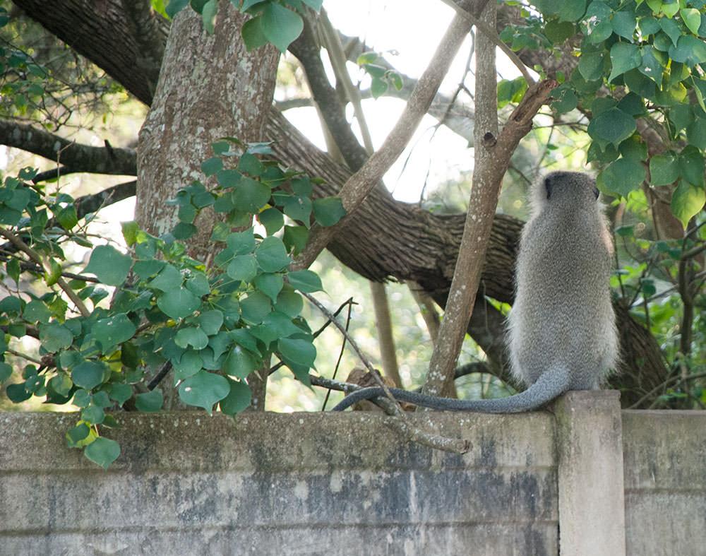 monos santa lucia