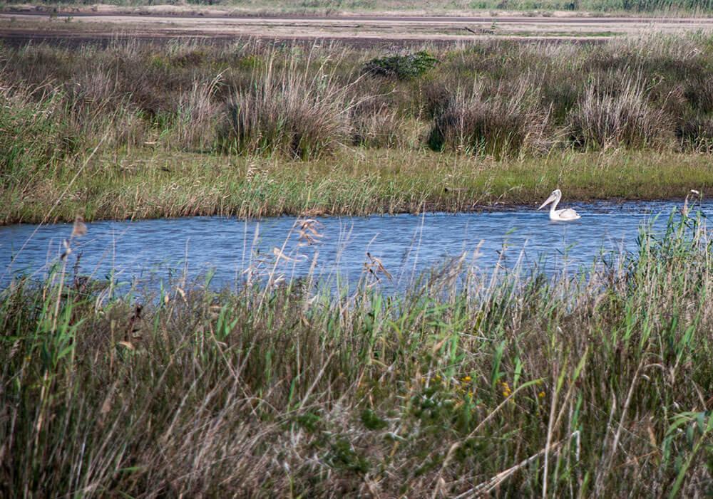pelicano isimangaliso