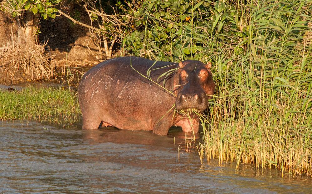 hipopotamos sudafrica