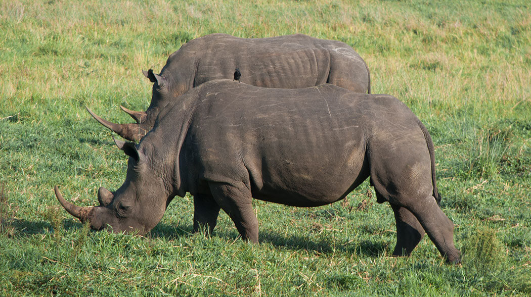 rinocerontes sudafrica