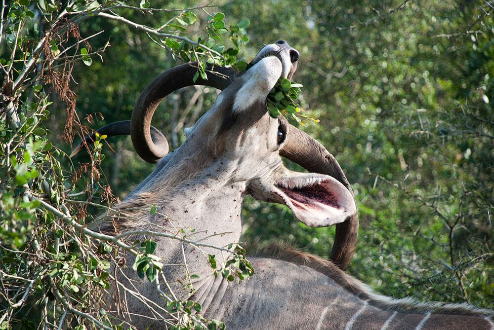 kudu sudafrica