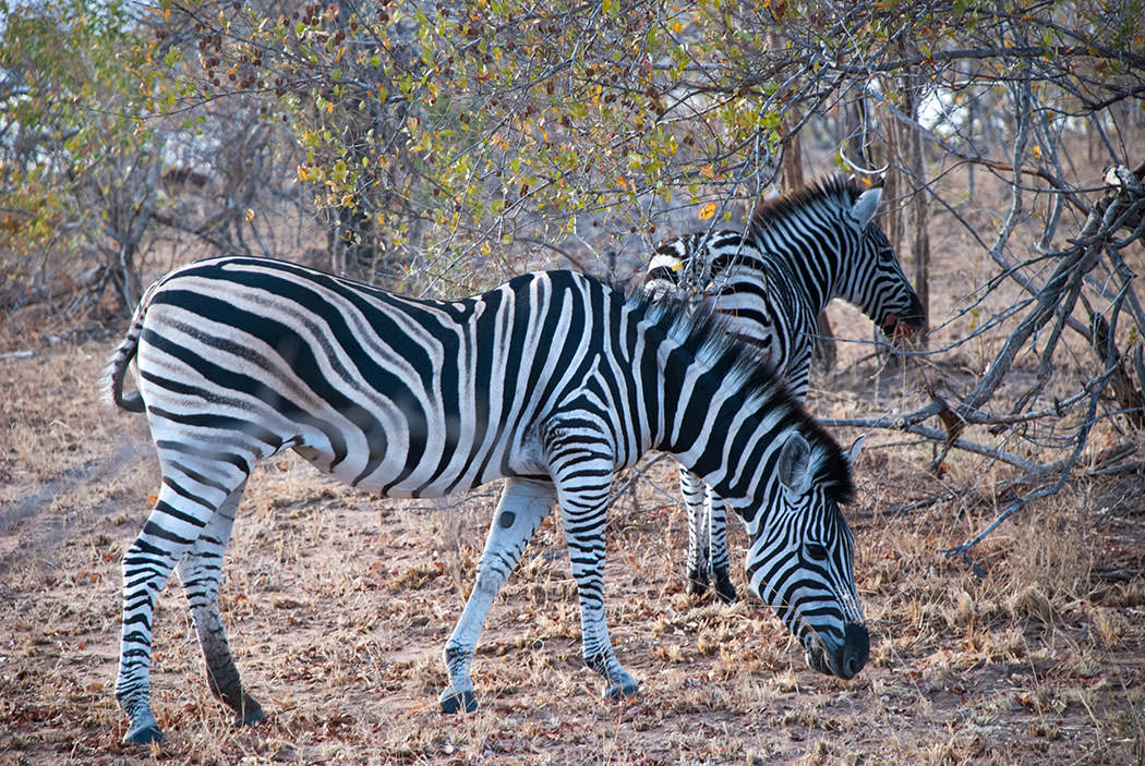 safari kruger sudafrica