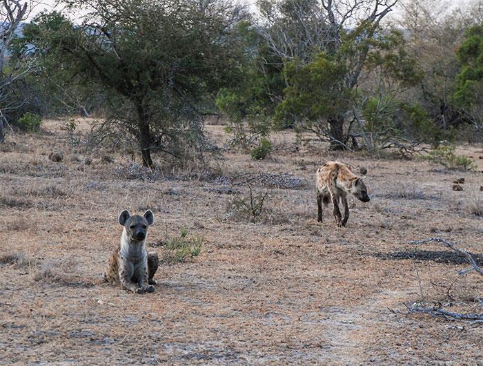 hienas sudafrica