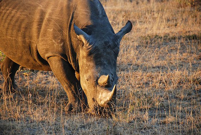 rinoceronte sudafrica