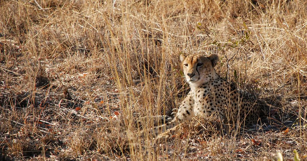 guepardo sabi sands