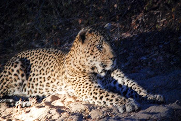 leopardo sabi sands