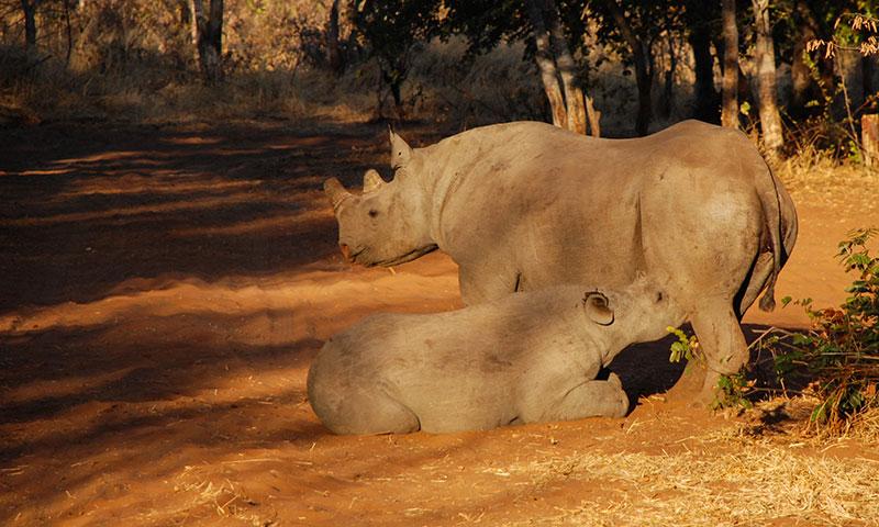 safari zimbabue
