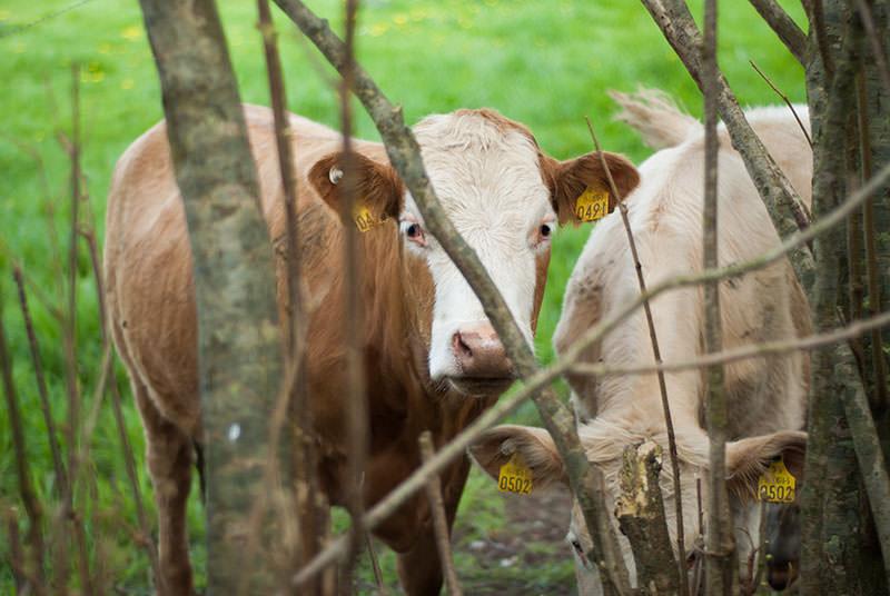vaca irlanda