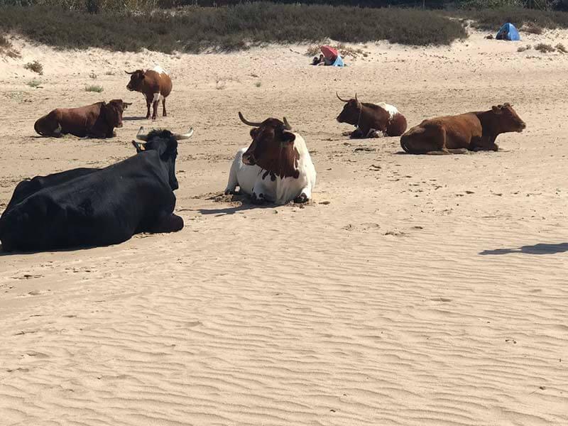 vacas playas cadiz