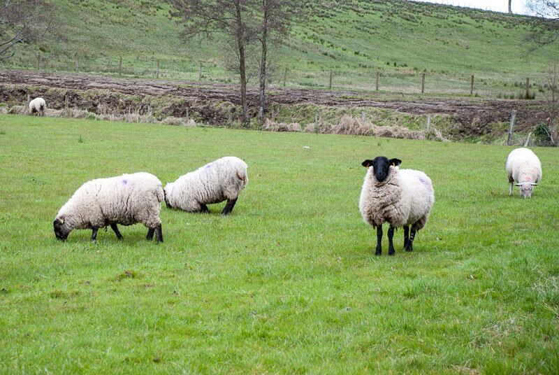 ovejas irlanda