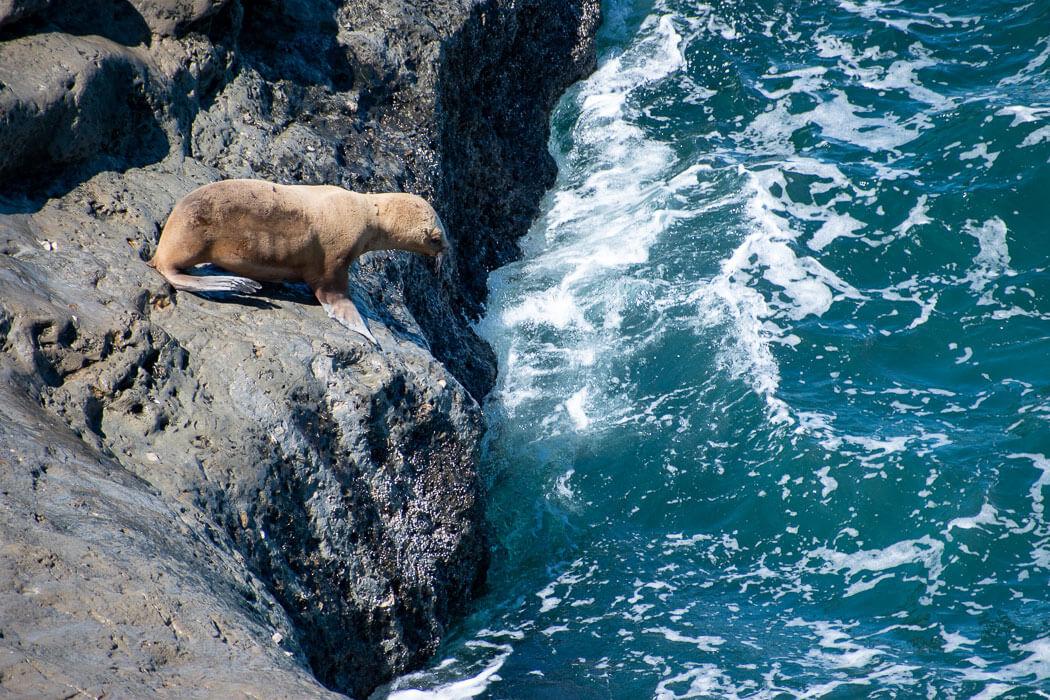 lobo marino península valdés