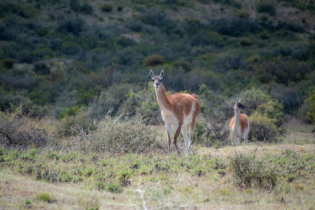 guanaco en Península Valdés