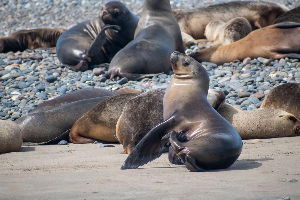 lobos marinos península valdés