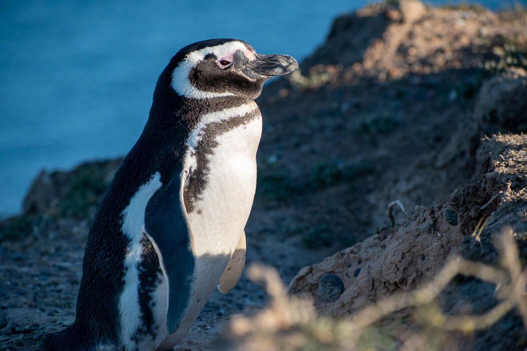 pinguinos en península valdés
