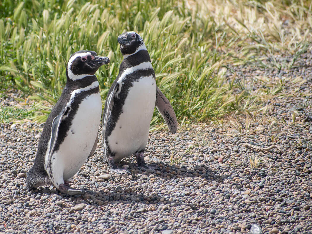 pinguinos argentina