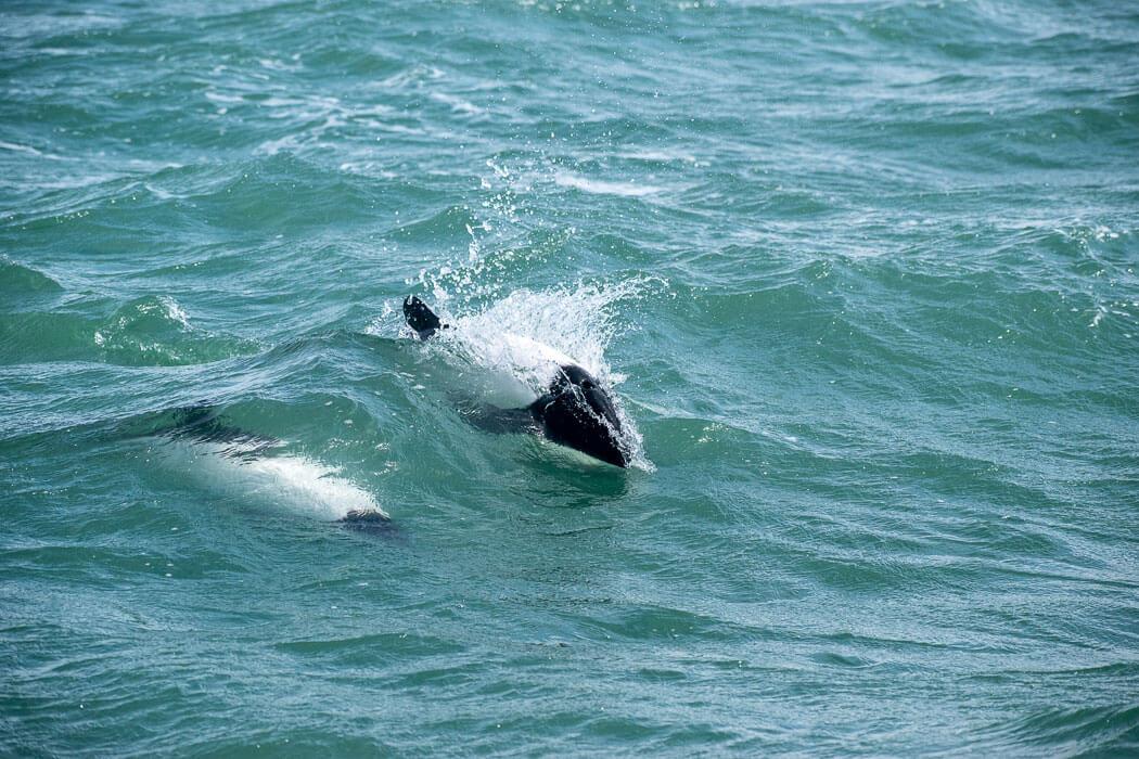 delfines argentinos