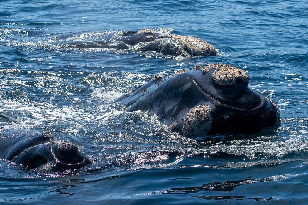 ballena franca austral argentina