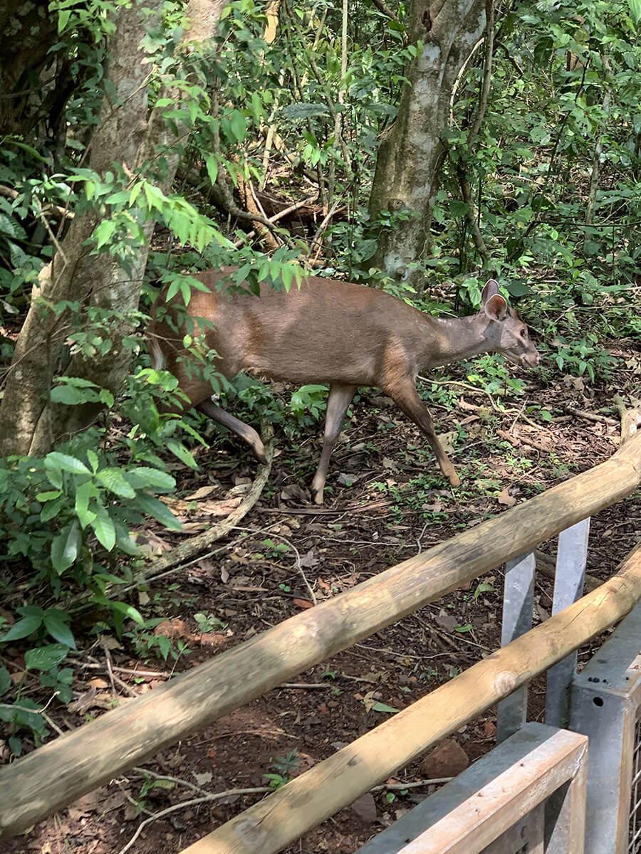 ciervo iguazu