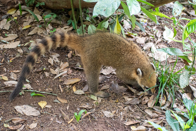 coati iguazu