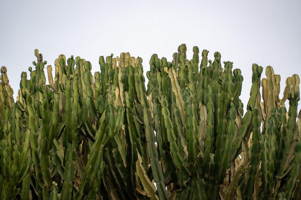 cactus fuerteventura