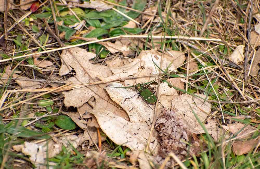escarabajo puebla de la sierra