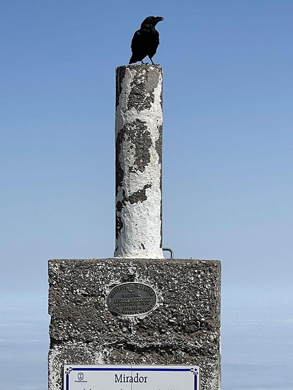 cuervo roque de los muchachos